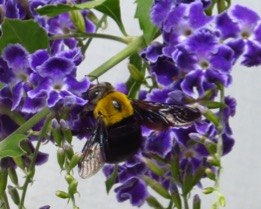Female Great Carpenter Bee on Duranta (an environmental weed and often used garden hedge species).