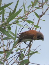 Chestnut-breasted manikin on the grassland.