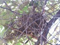 Finch nest in standing Chinee Apple on Garbutt Grassland.