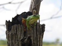 Green Tree Frog emerging from it's hollow in dead timber on the grassland.